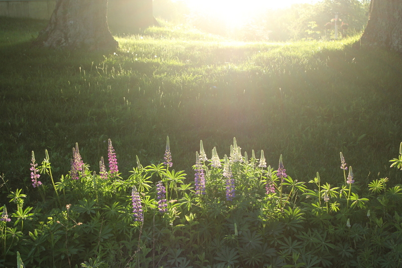 lupine-in-morning-sun